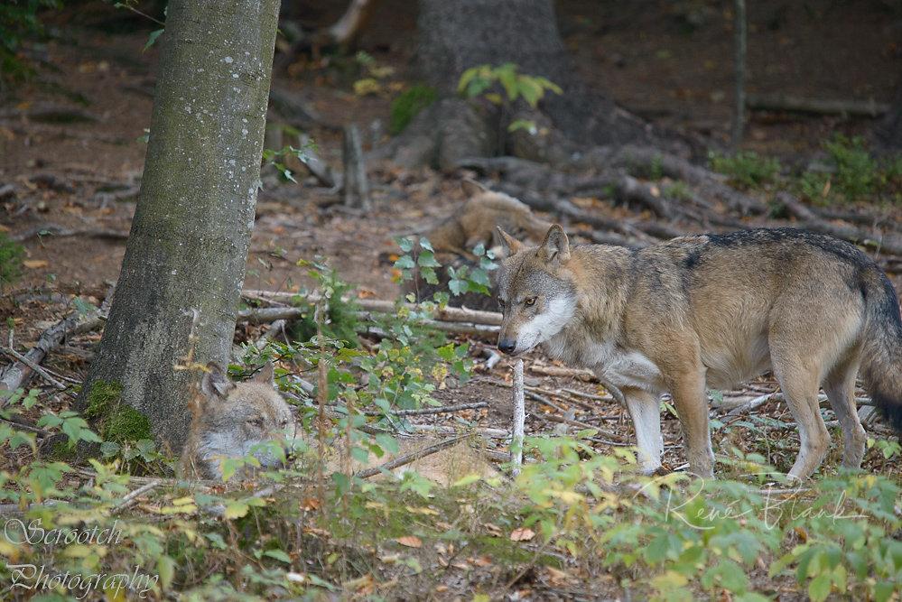 Wölfe im Nationalpark Bayer. Wald